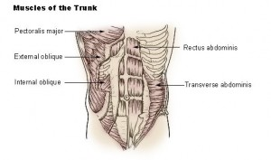 Muscles of the trunk.